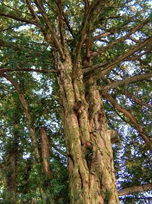 220px-Barlind_-_tree-SH-wikipedia